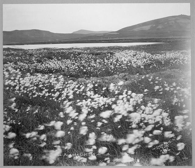 campo di cotone in Alaska